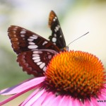 "Echinacea come from the Greek word ""hedgehog"""