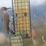 The red-shafted flicker woodpecker in my garden.