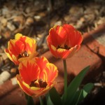 beautiful tulips are starting to bloom